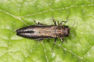 Agrilus sp. - kein dt. Name bekannt, Käfer auf Blatt (1)