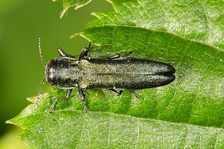 Agrilus sp. - kein dt. Name bekannt, Käfer auf Blatt (2)