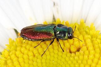 Anthaxia cf. fulgurans - kein dt. Name bekannt, Käfer Männchen auf Blüte