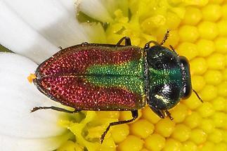 Anthaxia cf. fulgurans - kein dt. Name bekannt, Käfer auf ...