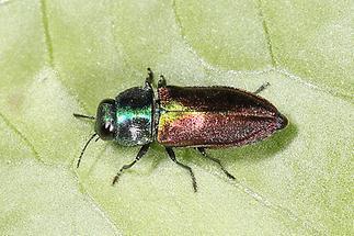 Anthaxia fulgurans oder eher podolica - kein dt. Name bekannt, Käfer auf Blatt (1)