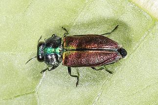 Anthaxia fulgurans - kein dt. Name bekannt, Käfer auf Blatt (2)