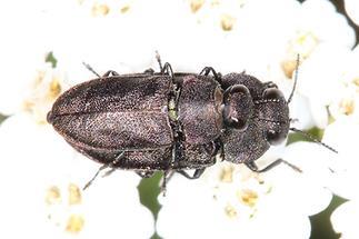 Anthaxia cf. helvetica - Schweizer Prachtkäfer, Käfer Paar