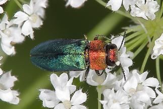 Anthaxia nitidula - Glänzender Blütenprachtkäfer