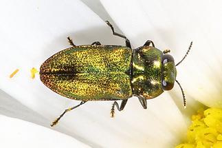 Anthaxia nitidula - Glänzender Blütenprachtkäfer, Käfer Männchen auf Blütenblättern