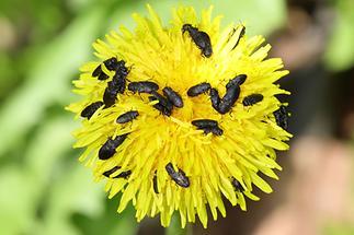 Anthaxia quadripunctata cf. - Vierpunktiger Kiefernprachtkäfer, viele Käfer auf Löwenzahnblüte