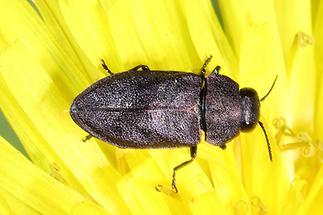 Anthaxia sp. - kein dt. Name bekannt, Käfer Weibchen auf gelber Blüte