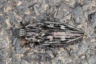 Chalcophora mariana - Marienprachtkäfer, Käfer zugeflogen (1)