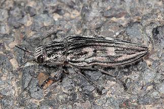 Chalcophora mariana - Marienprachtkäfer, Käfer zugeflogen (2)