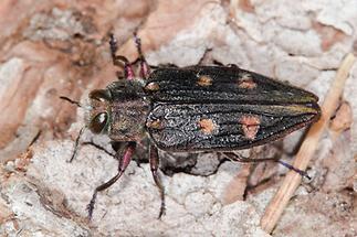 Chrysobothris cf. igniventris - kein dt. Name bekannt, Käfer auf Baumrinde (1)