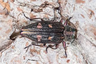 Chrysobothris cf. igniventris - kein dt. Name bekannt, Käfer bei Eiablage