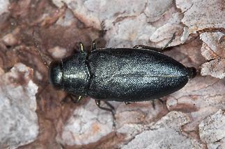 Phaenops cyanea - Blauer Kiefernprachtkäfer, Käfer auf Holzrinde