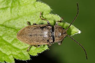 Dascillus cervinus - Behaarter Moorweichkäfer, Käfer auf Blatt (1)
