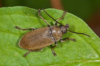 Dascillus cervinus - Behaarter Moorweichkäfer, Käfer auf Blatt (2)