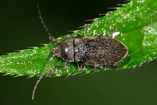 Dascillus cervinus - Behaarter Moorweichkäfer, Käfer naß auf Blatt