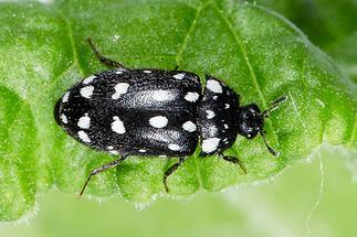 Attagenus punctatus - Gepunkteter Pelzkäfer, Käfer Weibchen