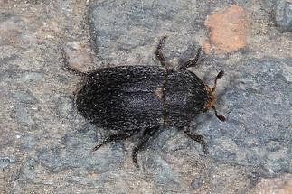 Dermestes laniarius - kein dt. Name bekannt