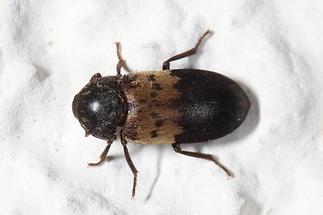 Dermestes lardarius - Gemeiner Speckkäfer, Käfer auf weißer Mauer (1)