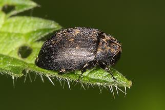 Byrrhus cf. fasciatus - kein dt. Name bekannt