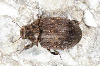 Byrrhus pilula - Gemeiner Pillenkäfer, Käfer auf Weg (1)
