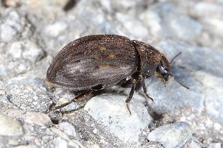 Byrrhus pilula - Gemeiner Pillenkäfer, Käfer auf Weg (2)