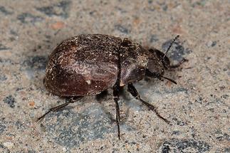 Byrrhus sp. - kein dt. Name bekannt, Käfer auf Weg (1)