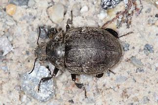 Byrrhus sp. - kein dt. Name bekannt, Käfer auf Weg (2)