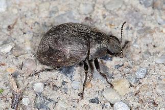 Byrrhus sp. - kein dt. Name bekannt, Käfer auf Weg (3)