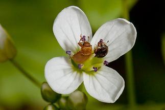 Byturus tomentosus - kein dt. Name bekannt, Käfer auf Blüte
