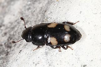Glischrochilus quadrisignatus - Picknickkäfer, Käfer auf Mauer