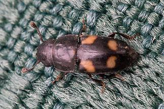 Glischrochilus quadrisignatus - Picknickkäfer, Käfer auf Tischset
