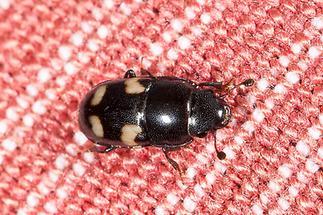 Glischrochilus quadrisignatus - Picknickkäfer, Käfer auf Tischtuch