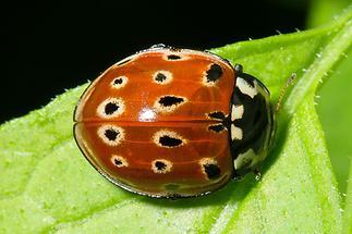 Anatis ocellata - Augenmarienkäfer, Käfer auf Blatt