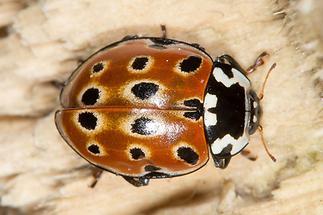 Anatis ocellata - Augenmarienkäfer, Käfer auf Holz
