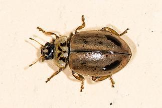 Aphidecta obliterata - Gelbbrauner Marienkäfer, Nadelbaum Marienkäfer, Käfer auf Mauer (1)