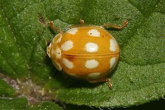 Calvia decemguttata - Licht-Marienkäfer, Käfer auf Blatt (1)