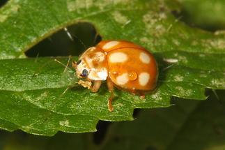 Calvia decemguttata - Licht-Marienkäfer, Käfer auf Blatt (2)