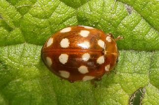 Calvia quatuordecimguttata - Vierzehntropfiger Marienkäfer