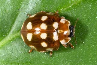 Calvia quatuordecimguttata - Vierzehntropfiger Marienkäfer, Käfer auf Blatt (1)
