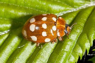 Calvia quatuordecimguttata - Vierzehntropfiger Marienkäfer, Käfer auf Blatt (2)