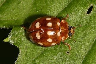Calvia quatuordecimguttata - Vierzehntropfiger Marienkäfer, Käfer auf Blatt (3)