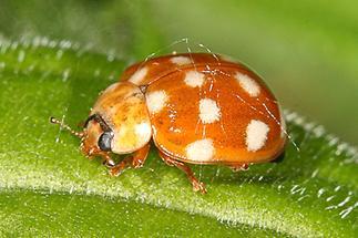 Calvia quatuordecimguttata - Vierzehntropfiger Marienkäfer, Käfer auf Blatt (4)