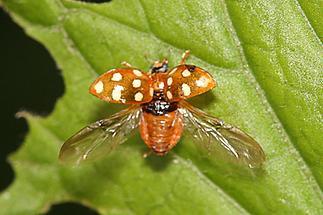 Calvia quatuordecimguttata - Vierzehntropfiger Marienkäfer, Käfer beim Abflug