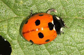 Coccinella septempunctata - Siebenpunkt, Käfer auf Blatt (1)