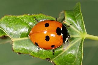Coccinella septempunvtata - Siebenpunkt, Käfer auf Blatt (2)