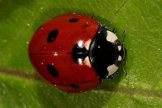 Cocconella - septempunctata, Käfer auf Blatt (3)