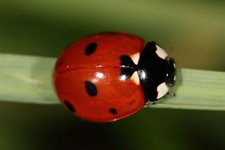 Coccinella septempunctata - Siebenpunkt, Käfer auf Grashalm