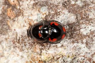 Exochomus quadripustulatus - Vierfleckiger Kugelmarienkäfer, Käfer Paar auf Rinde