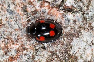 Exochomus quadripustulatus - Vierfleckiger Kugelmarienkäfer, Käfer auf Rinde