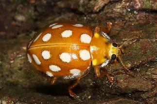 Halyzia sedecimguttata - Sechzehnfleckiger Marienkäfer, Käfer an Baum
